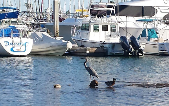 Great Blue Heron with a Mallard